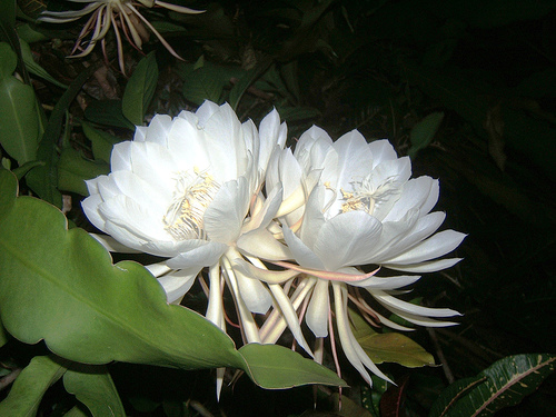 KadupulFlower1