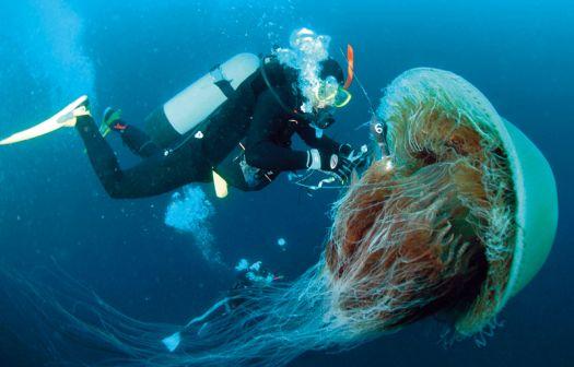 zoorium+lions+mane+jellyfish2