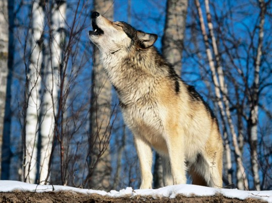 1287650965_1024x768_grey-wolf-howling-in-the-morning