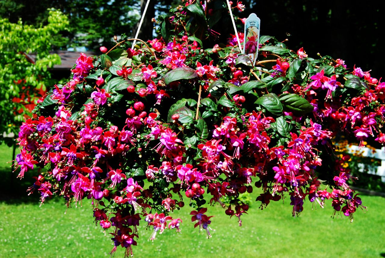 Small Hanging Basket Flowers: Fuchsia, Mauve, Puce, And Teal: Ain't Nobody Got Time For