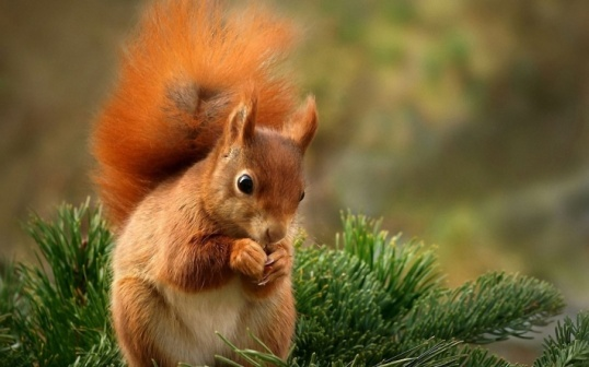 bigpreview_Red Squirrel