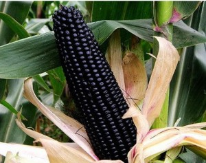 30pcs-lot-vegetable-seeds-font-b-black-b-font-waxy-font-b-corn-b-font-seeds