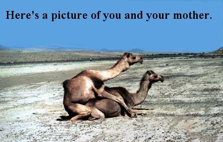 Nigerian Camels